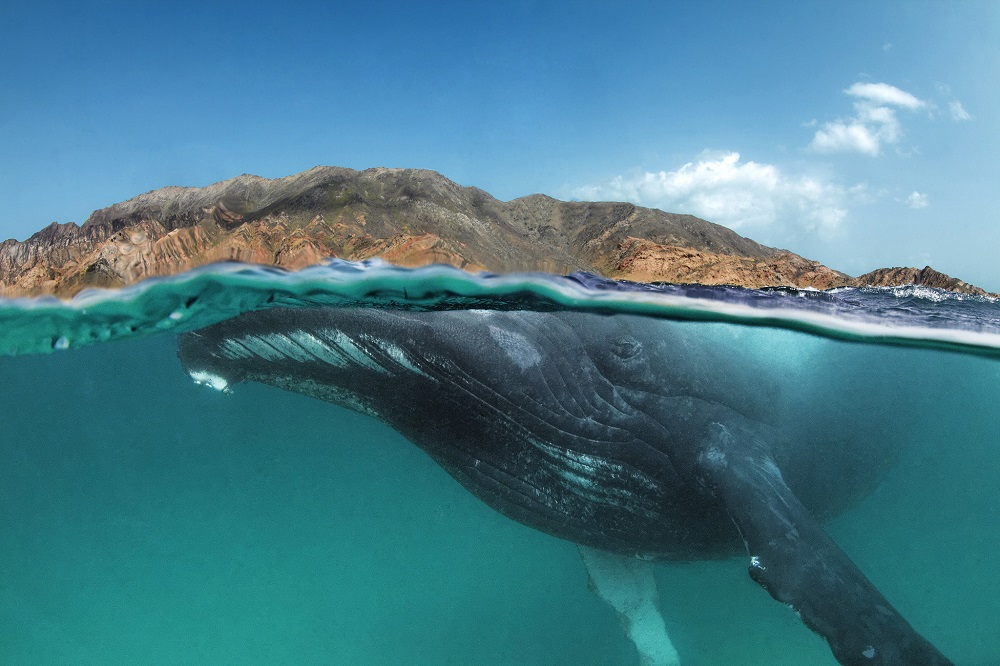 Humpback whale, Megaptera novaeangliae, swimming close to the surface in a split shot half under and half over water with brown desert mountains in the background at Al Sawda, Al-Hallaniyah, Khuriya Muriya Islands, Oman, Indian Ocean.